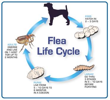 THE FLEA LIFE CYCLE