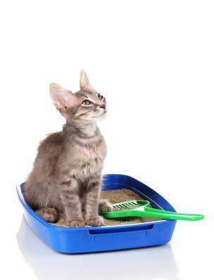 kitten on litter tray