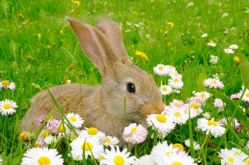 rabbit in daisies